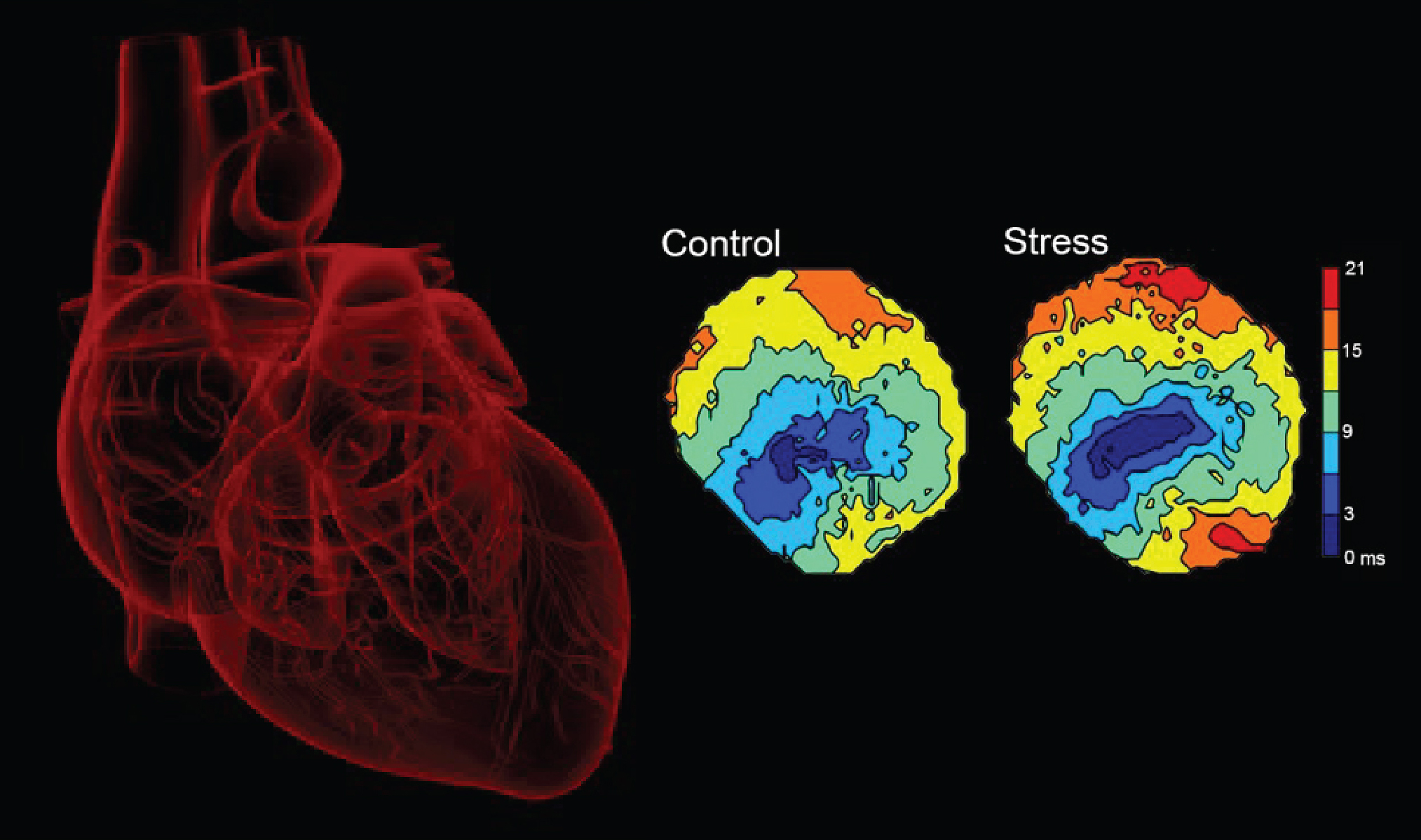 Visualizing electrical activity in the heartWhole organ optical mapping